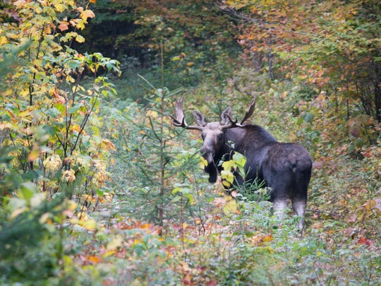 A moose at Victory Basin Wildlife Management, a 4,970-acre wetland and forest complex owned by the state of Vermont and managed by the Vermont Fish & Wildlife Department. The property is located 15 miles northeast of St. Johnsbury in the town of Victory in Essex County.