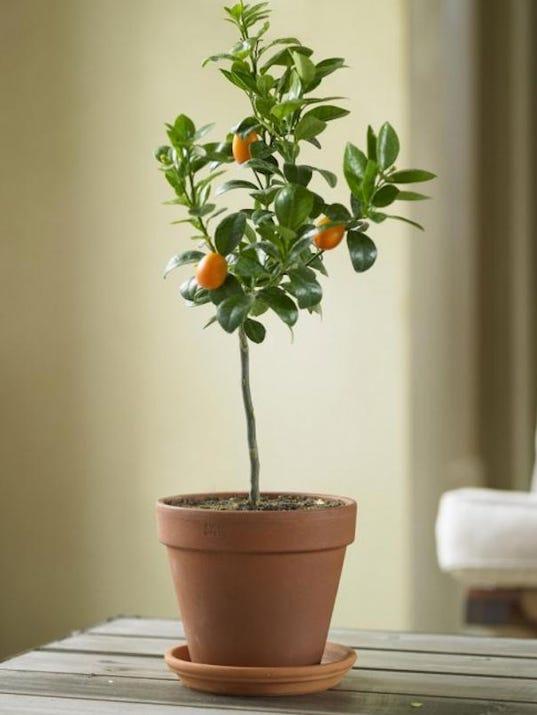 IMG_kumquat_tree.png_1_1_B55P1TI8.jpg_20131128.jpg