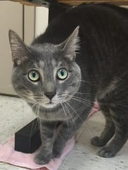 Anthony is a 2-year-old gray tabby boy who was returned