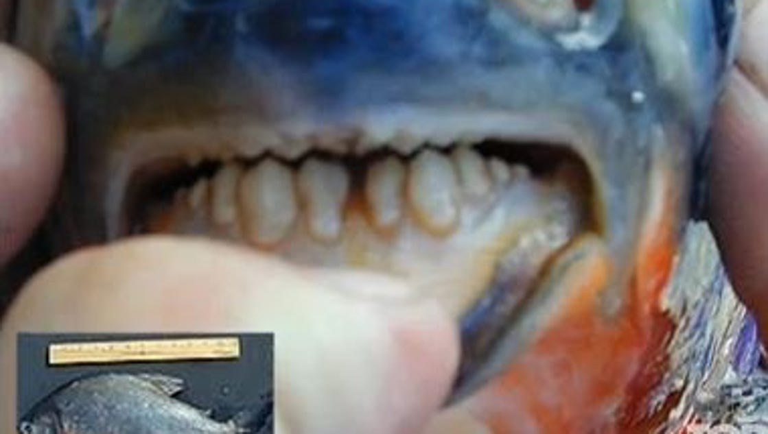 Fish with human like teeth caught in a new jersey lake for Pacu fish teeth