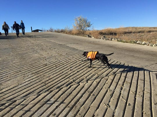 Ismay, a black lab, runs off some steam before he begins work searching for invasive mussels at Tiber Reservoir.