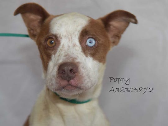 Poppy - Female pitbull mix, juvenile. Intake date: 4-13-2018