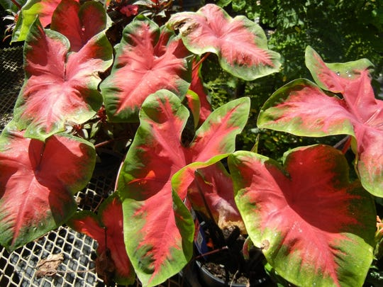 Caladiums like shady areas and are dormant in the winter.
