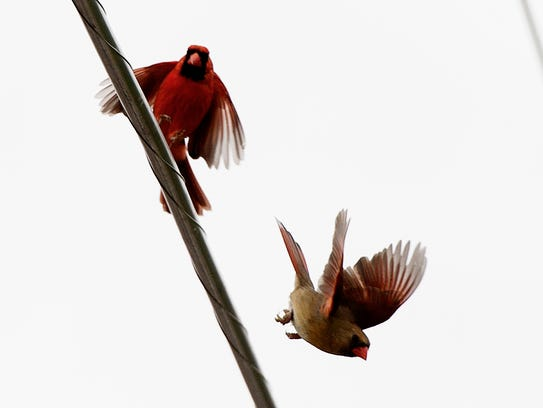 A male and female cardinal court one another in Knoxville,