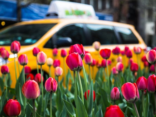 Red Tulips And A Yellow Cab
