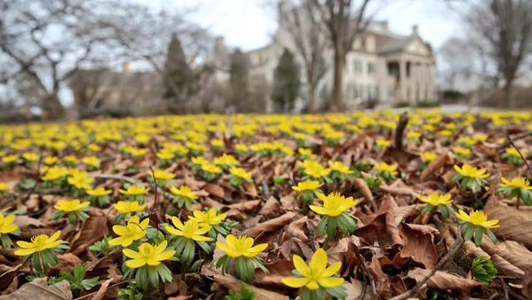 Flowers bloom outside George Eastman Museum on Wednesday, March 9, 2016.