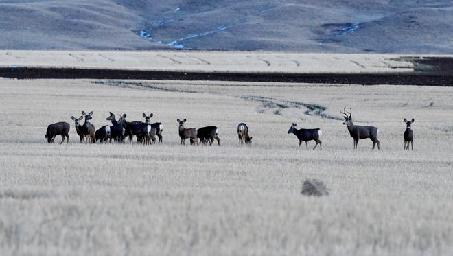 A herd of mule deer gather in a stubble field northeast of Great Falls, January 26, 2018.