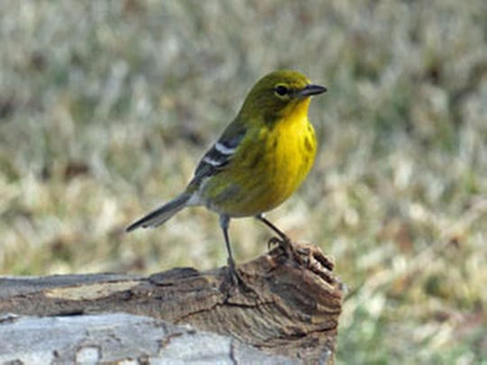 Those who have trouble identifying this pine warbler, opposed to a palm warbler, will have help during the Audubon Society's annual Christmas Bird County.