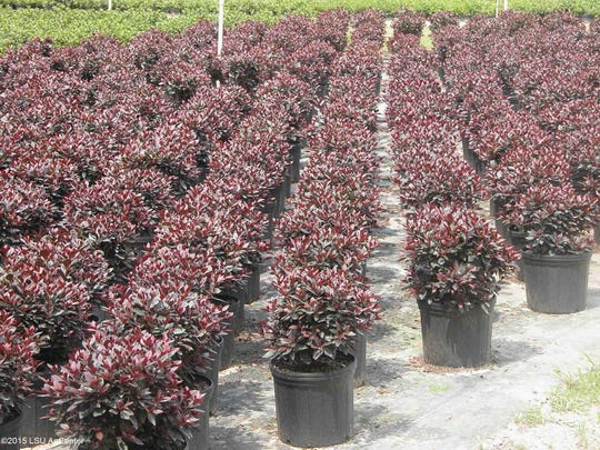 Ornamental Plants Are Business For Whole Nurseries