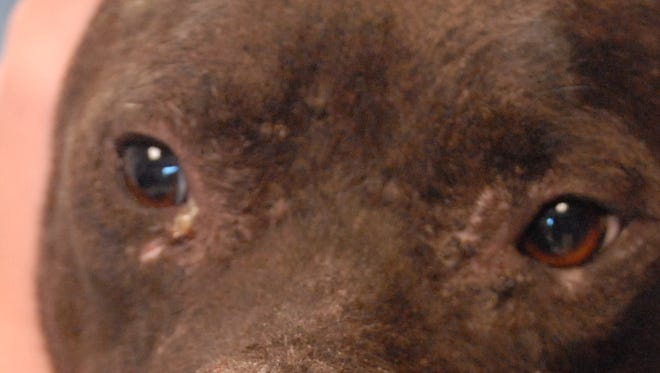 Indie was dropped off at Immokalee Animal Control with a missing nose and other wounds that point to dog fighting.