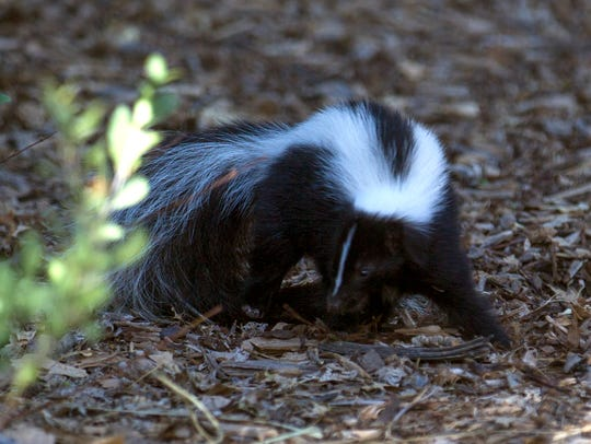 A skunk walks near a Berg Park trail on Thursday in