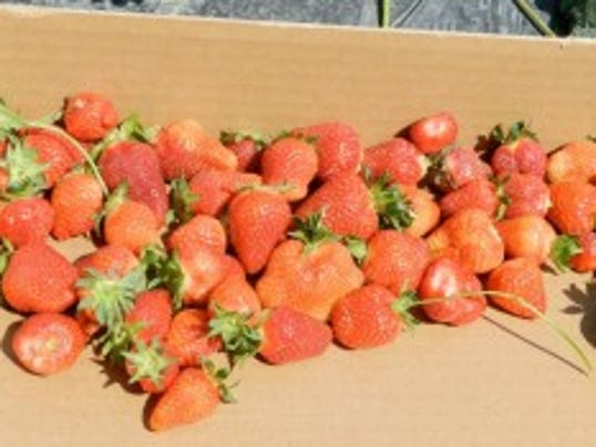 Jersey Fresh strawberries are back, for a short time, after a hailstorm damaged the early crop.