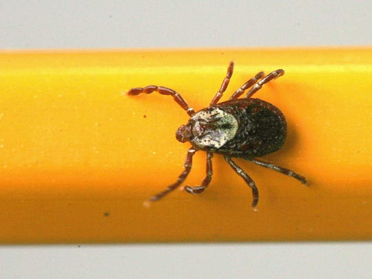 The adult dog tick can survive for two years without feeding, but will start eating as soon as a host becomes available.