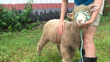 A sheep and its owner prepare to compete in the 4-H competition at the Dutchess County Fair.