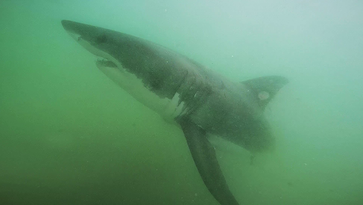 Calls for more research, education as great white shark population grows off California