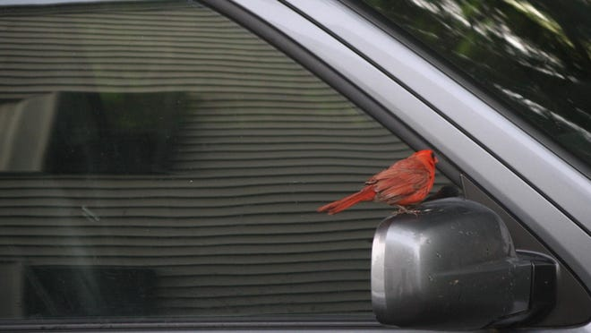 This cardinal — which may or may not be acting alone — perches on the columnist's side-view mirror recently.