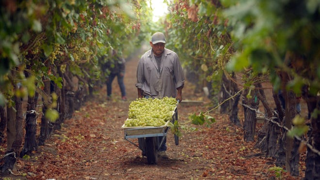 In this file photo, Enrique Meza-Avila of Lindsay hauls a load of freshly-picked Autumn King grapes at Sundale Vineyards near Tulare.