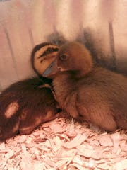 Ducklings are shown at the Purina Chick Days event