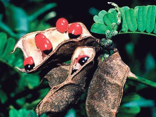 Rosary pea (Abrus precatorius L.) was plant used to create potentially deadly toxin.