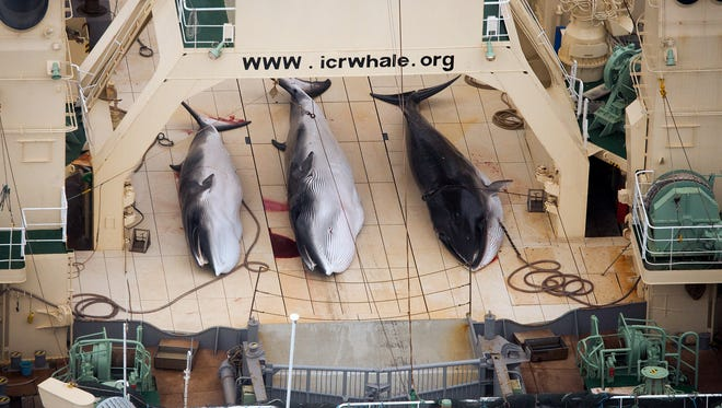 In this file photo taken on Jan. 5, 2014, three dead minke whales lie on the deck of the Japanese whaling vessel Nisshin Maru, in the Southern Ocean.
