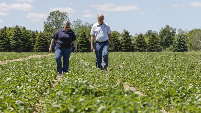 Dave and Terri Wilfert walk through their strawberry fields at Wilfert Farms on June 6 in Two Rivers.