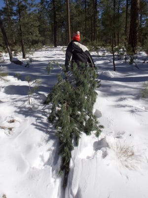 Trees for Christmas are ready to be chopped down like this one in the Apache-Sitgreaves National Forest outside of Payson.  Instead of being able to get permits at local sporting goods stores, you will no have to purchase them at the U.S. Forest Service ranger office.