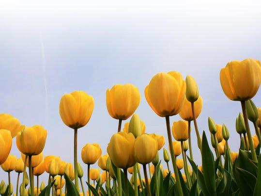 tulips-1330822 (1)