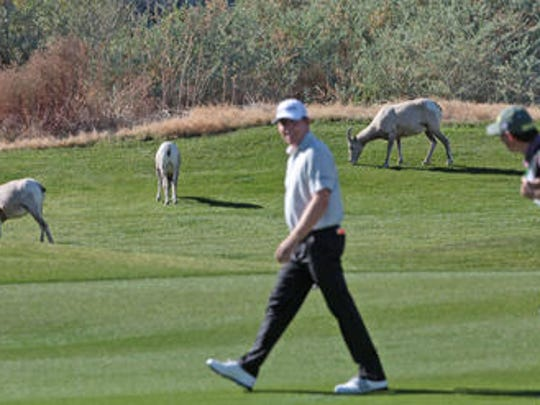 Bighorn sheep meandering along neighborhood streets and feasting at golf courses in La Quintawill soon be a thing of the past after the Coachella Valley Conservation Commission on Friday approved an environmental report that clears the path for the building of a state and federally mandated fence.