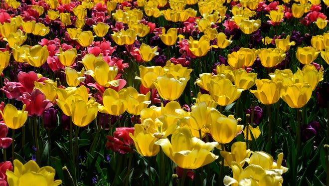 100,000 Tulips are in bloom on the grounds Cheekwood mansion Wednesday April 9, 2014, in Nashville, Tenn. The flowers are expected to bloom into the following week.