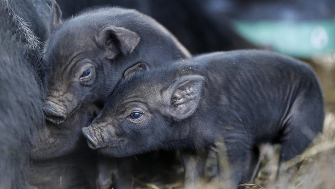 Susan Frank wants the mulefoot restored to its early 20th-century status as a premier pig. The U.S. Department of Agriculture has given her $50,000 to help increase interest in products made with its meat.