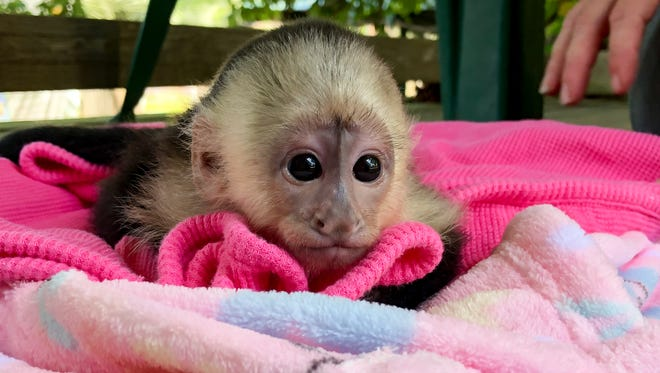 Mimi, a Capuchin monkey, was born March 8 at the Alabama Gulf Coast Zoo in Gulf Shores.