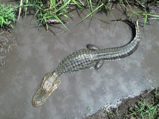 An alligator sits in the swamp area at Alligator Alley in Summerdale, Ala. Visitors to the park can buy gator biscuits to feed to resident alligators.