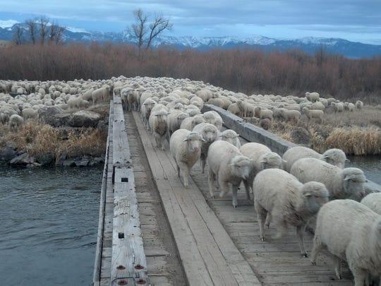 Lambs led over bridge