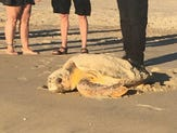 Sea turtle lays eggs in Fenwick Island, 'rare' for Delaware