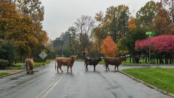 Four steers cross the road Monday at Austin and Woodhill Roads.