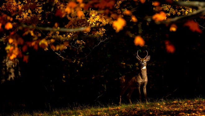 A buck deer stops in the sunlight underneath a colorful tree at Evergreen Cemetery on Wednesday, Oct. 25, 2017, in Lansing.