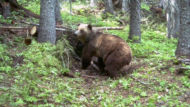 An adult female grizzly bear is spotted by an automatic trail camera provided by the U.S. Fish and Wildlife Service shows in 2014.