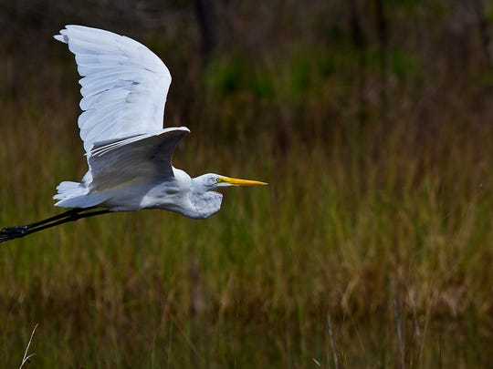 A great egret takes flight in search for food while wading and feeding along a marsh near Mirror Lake in Lehigh Acres Wednesday afternoon (10/7/15).