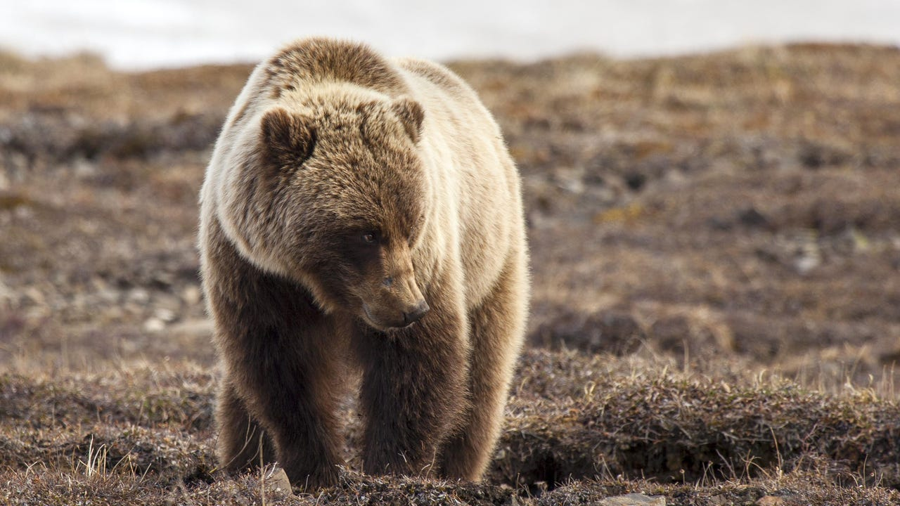 Protections that have been in place for more than 40 years for grizzly bears in the Yellowstone National Park area will be lifted this summer after U.S. government officials ruled Thursday that the population is no longer threatened.