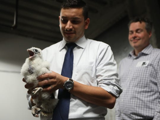 Zach McCue, Projects Dir. for Senator Booker, holds a peregrine falcon in Jersey City. Tuesday, May 28, 2018