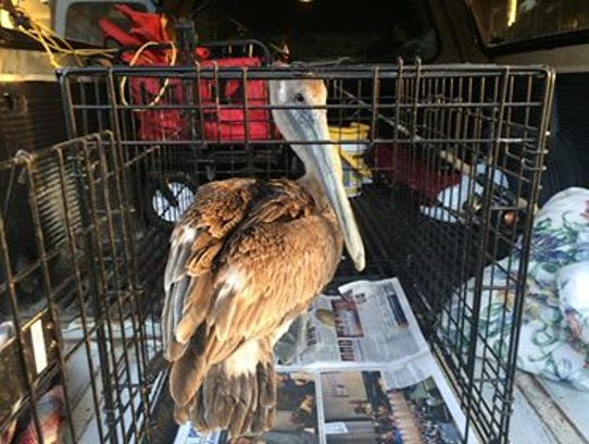 Pete the pelican hangs out in a cage after being rescued