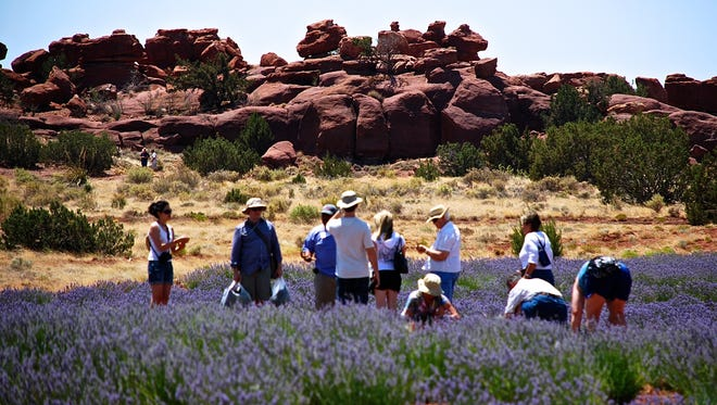 Pick your own lavender or buy entire specimens to plant in your yard at the Lavender Festival at Red Rock Ranch and Farms in Concho.