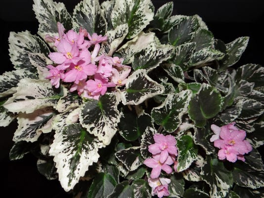 Variegated African violet trailer with pink flowers