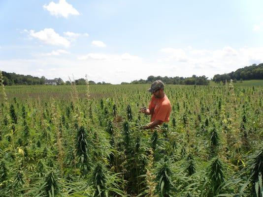 Potís cousin explored as viable crop option for Minnesota