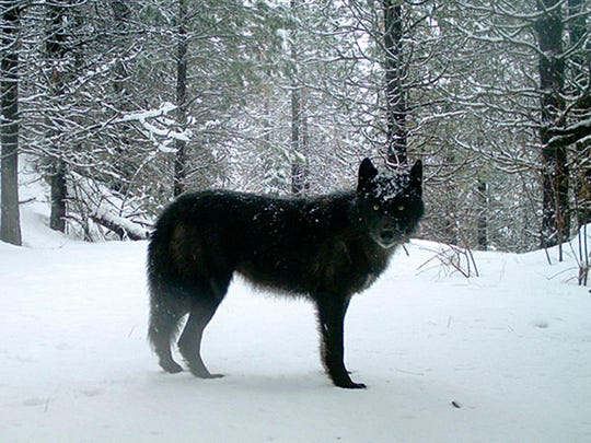 Washington Gov. Jay Inslee is seeking changes in how his state deals with problem wolves in Ferry County, in an effort to reduce the number of gray wolves being killed.