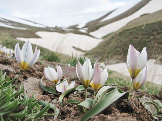 Gardening-Wild Tulips_Atzl-1.jpg