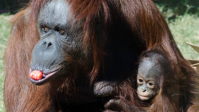 Bornean orangutans Bess and baby Jiwa are part of Phoenix Zoo's conservation work.