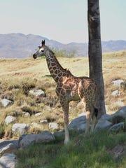 The Living Desert's baby giraffe, born April 28, 2017,
