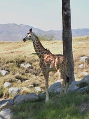 The Living Desert's baby giraffe, born April 28, 2017, has been named Harold after local businessman Harold Matzner who gifted the zoo $50,000.
