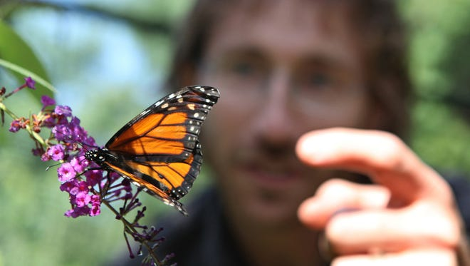Travis Brady, the director of education and living collections at Greenburgh Nature Center in Greenville, N.Y., looks at a monarch butterfly in the butterfly house at the center.